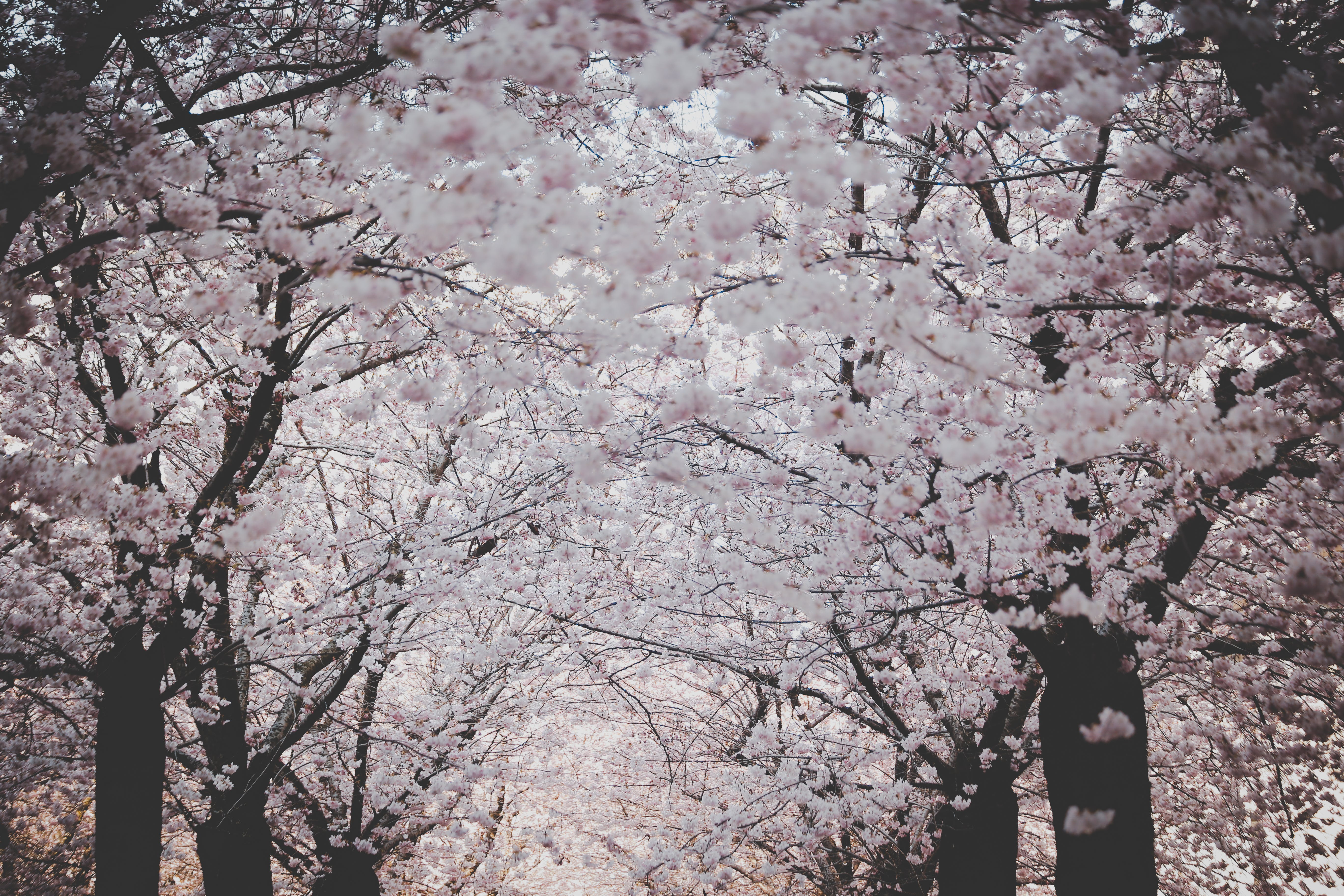 Free stock photo of cherry blossom, colors, flowers, nature