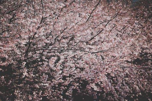 Fotobanka sbezplatnými fotkami na tému čerešňa, čerešňový kvet, farba, farby