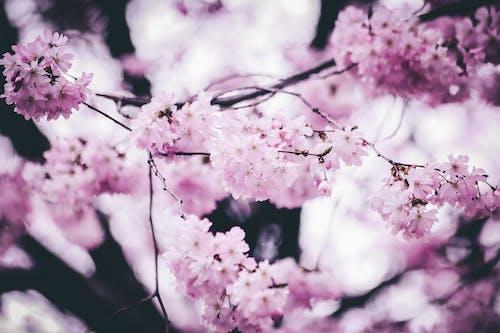 Безкоштовне стокове фото на тему «бутон, Весна, весняні квіти, Вишня»