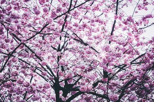 Imagine de stoc gratuită din anotimp, arbore, crengi, floare de cireș