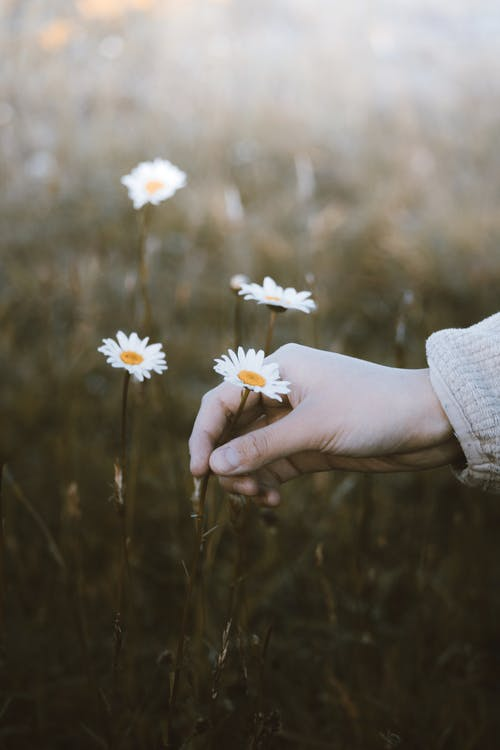 A close up on a hand picking a daisy