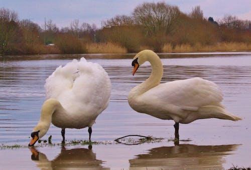 Δωρεάν στοκ φωτογραφιών με #swans #birds #lake #wildlife #nature