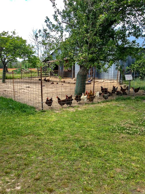 Free stock photo of animals, chickens, copy space, farm animals