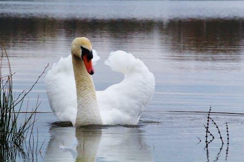 Δωρεάν στοκ φωτογραφιών με #swan #feathers #wildlife #wildlifephotography