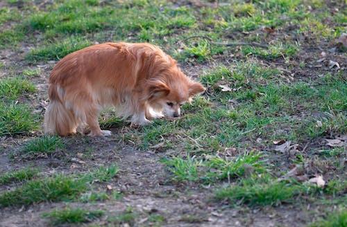 간, 갈색과 흰색, 개, 공원의 무료 스톡 사진