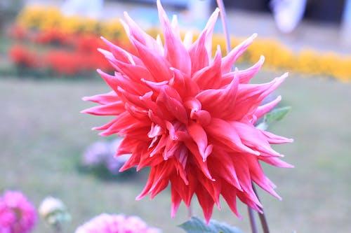 Kostenloses Stock Foto zu blühen, blume, blüte, blütenblatt