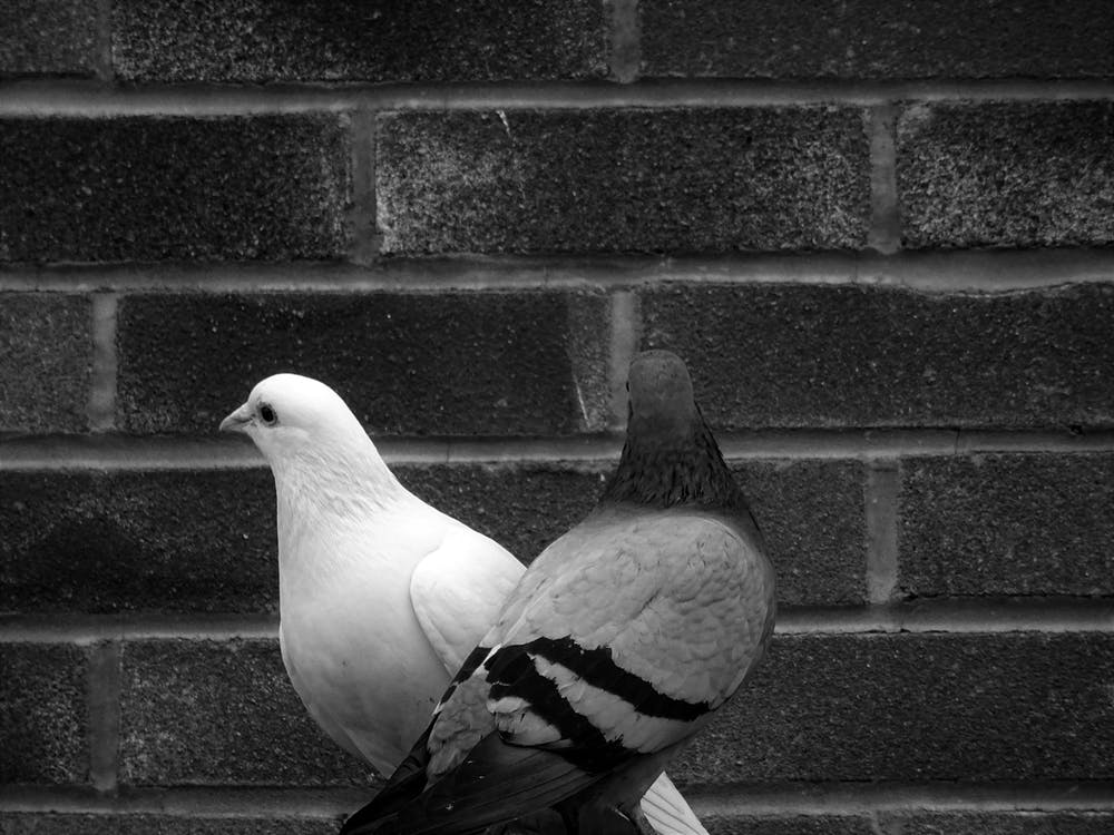 Grayscale Photo of Tow Pigeons