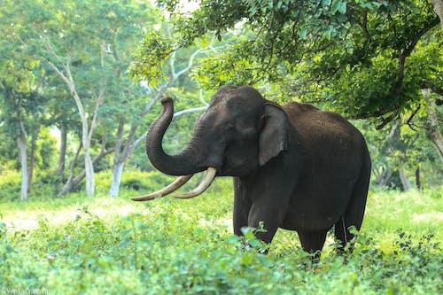ağaçlar, fil, fil dişleri, fildişi içeren Ücretsiz stok fotoğraf
