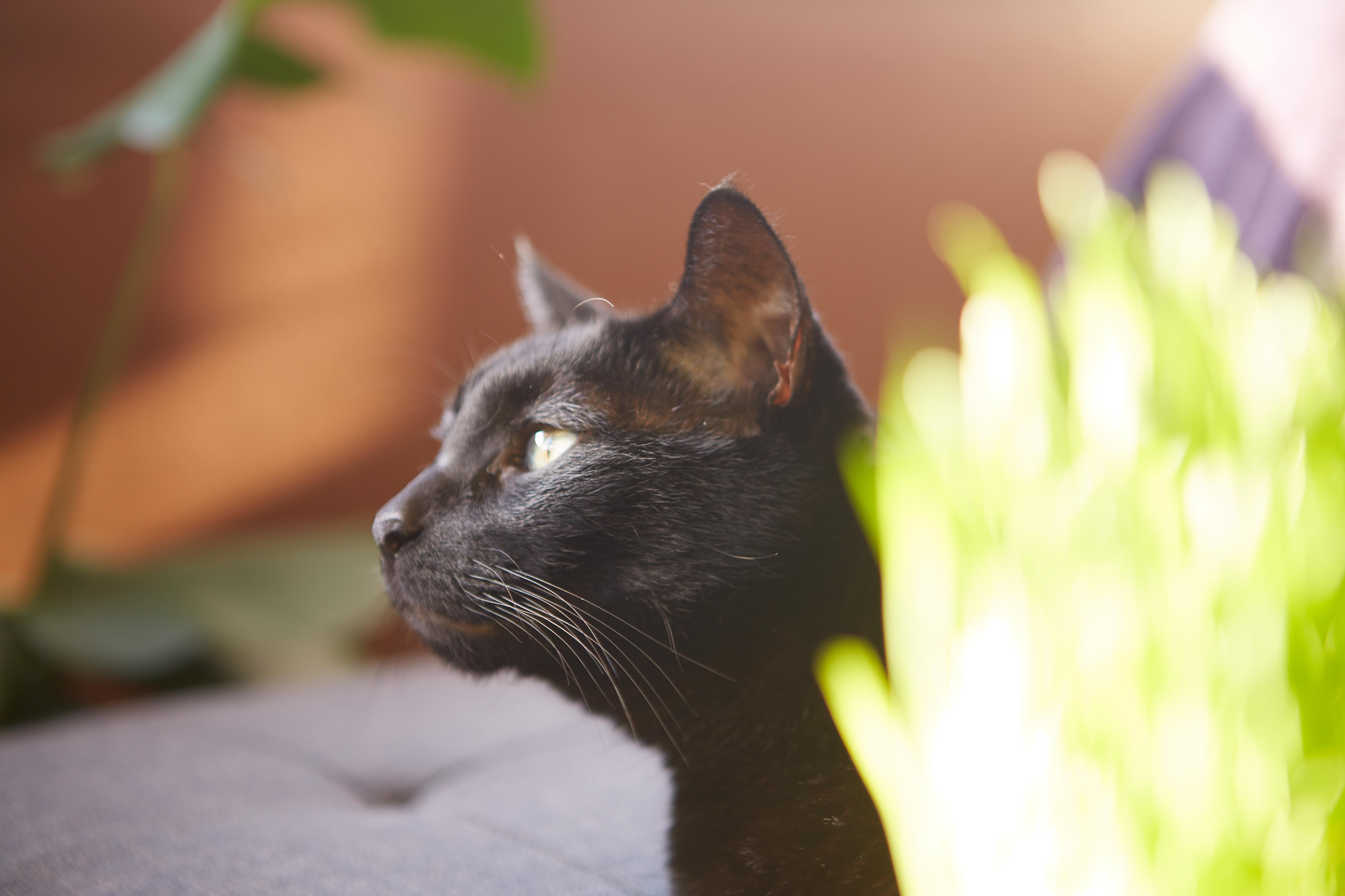 Tlustá černá kočička chlupatá