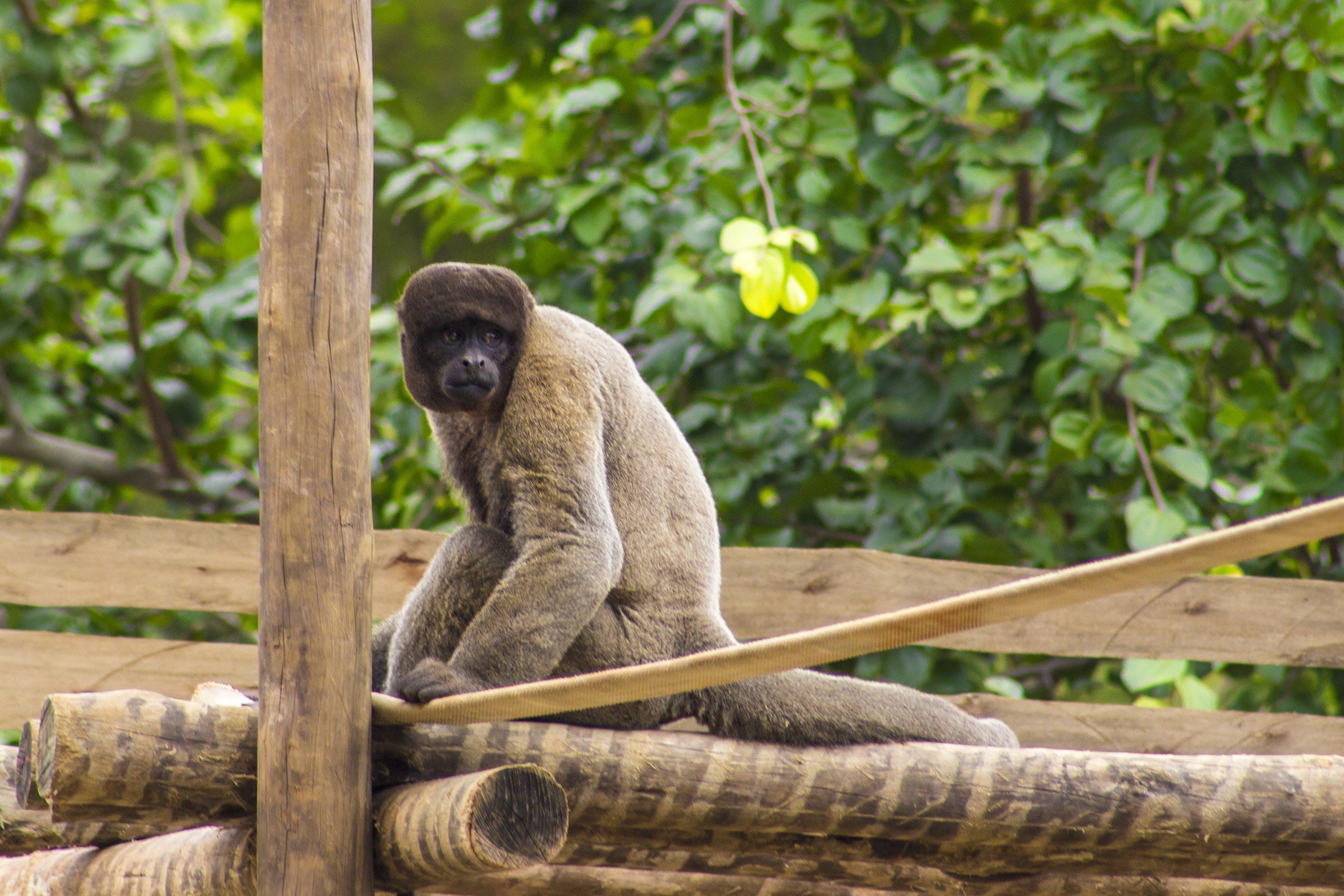 Free stock photo of animal, animal park, ape, brazil