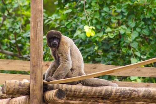 Free stock photo of animal, animal park, ape