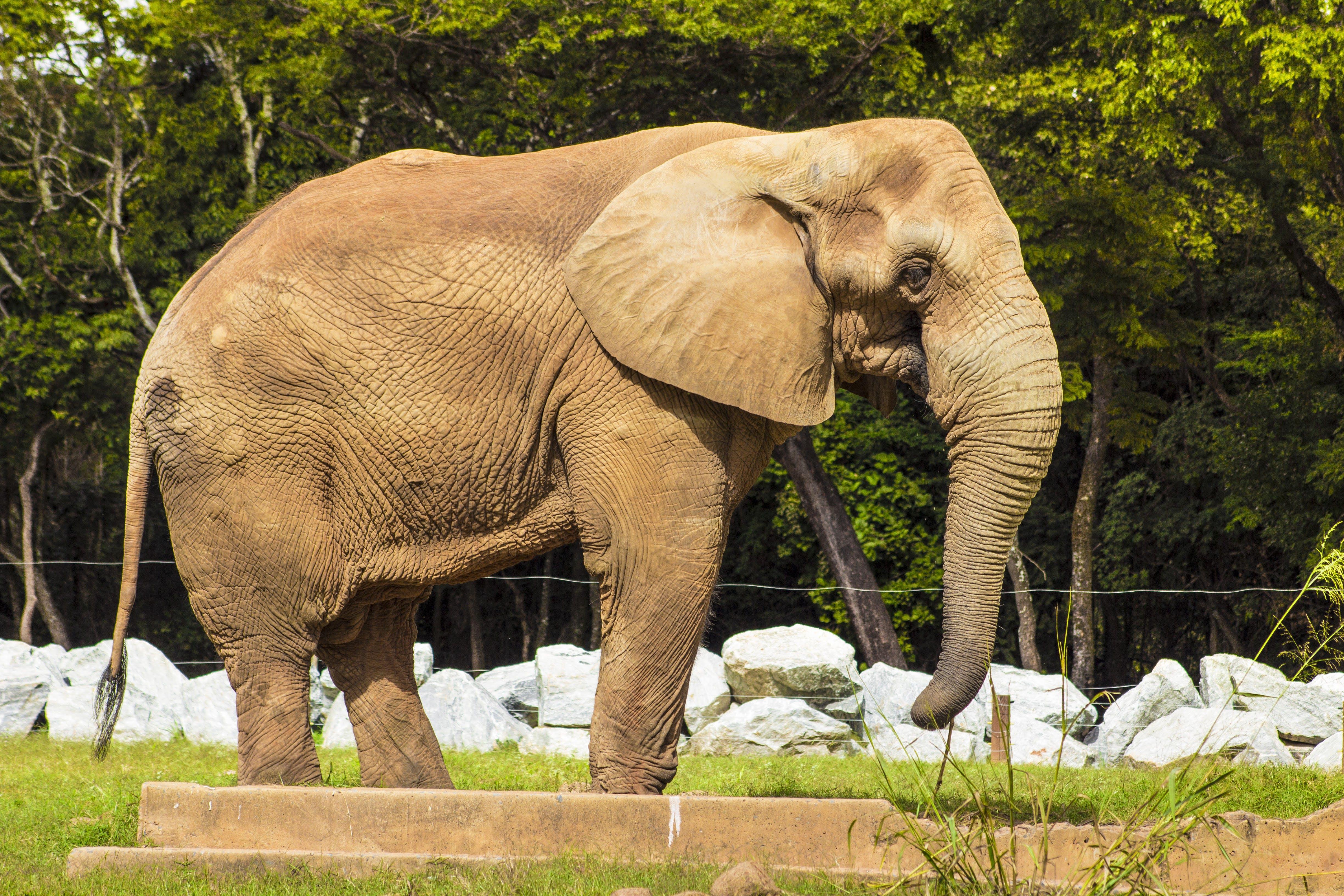 Free stock photo of african elephant, animal, animal park, animal photography