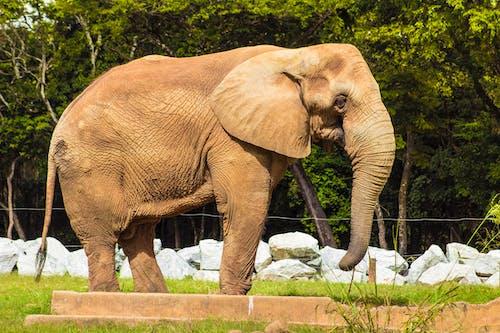 Free stock photo of african elephant, animal, animal park