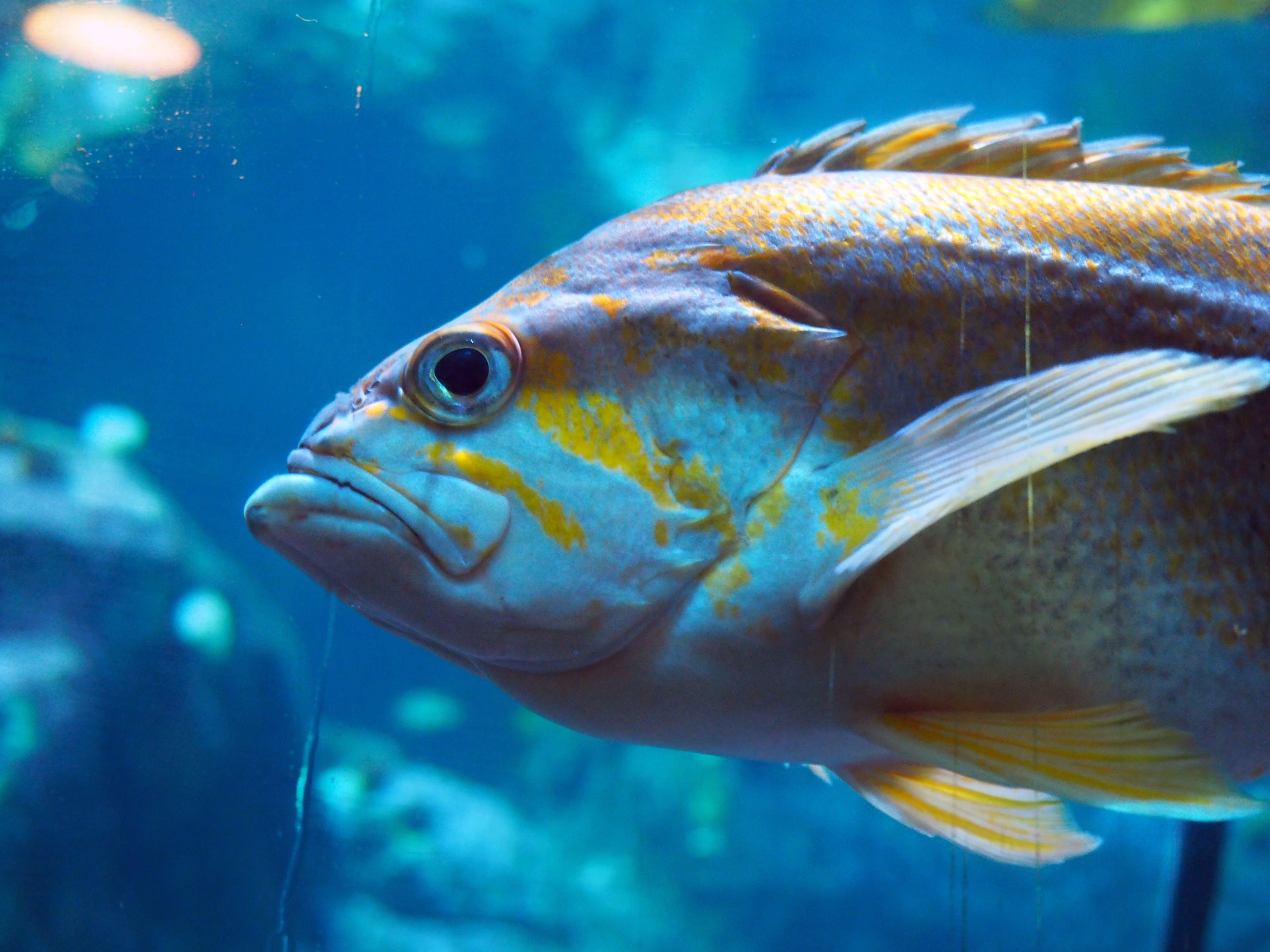 Free stock photo of aquarium, blue, fish, fisheye