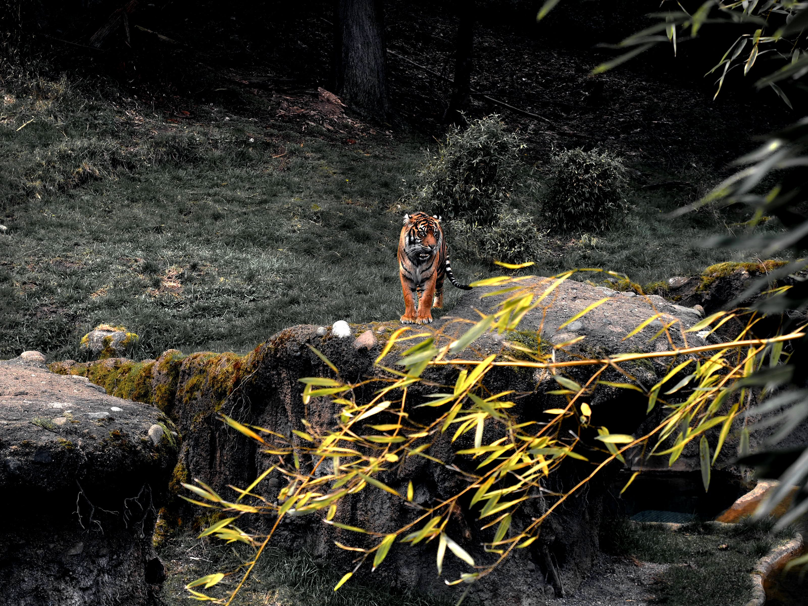 Tiger On Rock