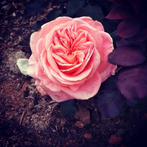 Gratis lagerfoto af rosenblomst