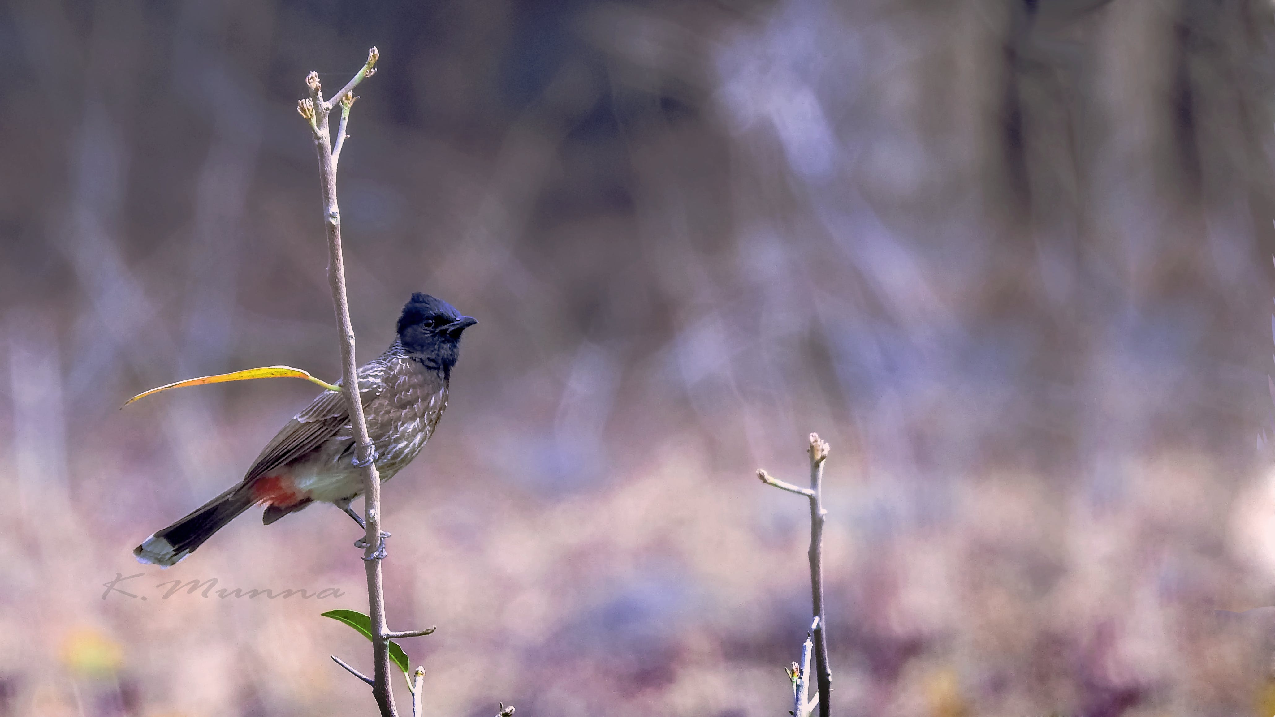 Free stock photo of Bulbul