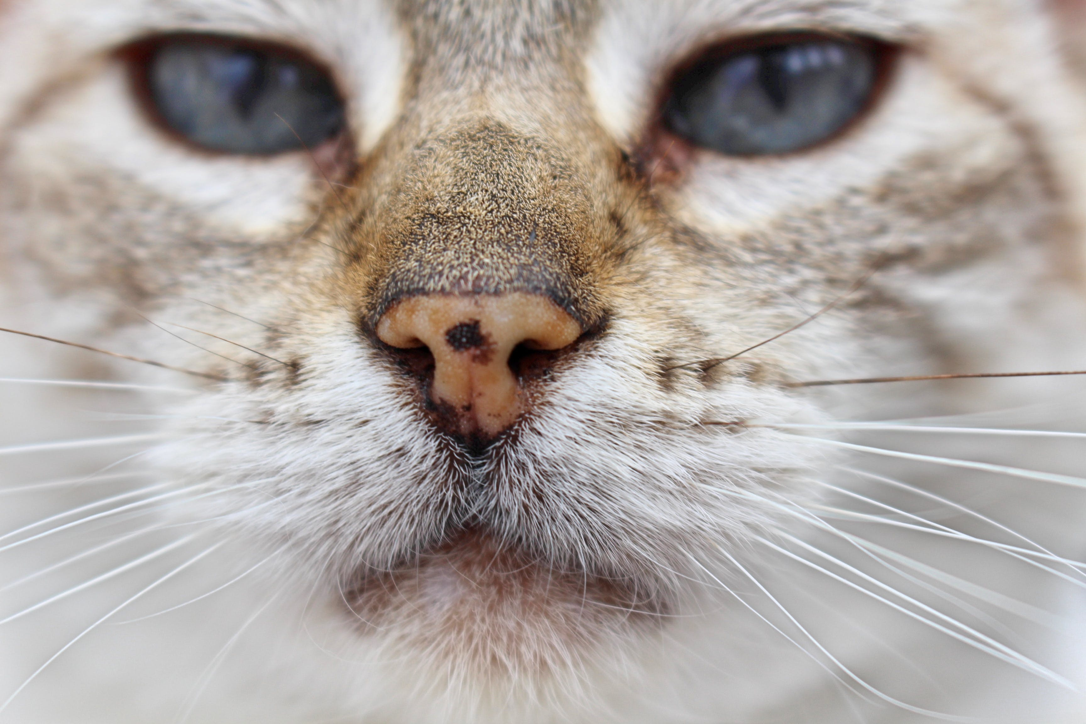 Foto profissional grátis de adorável, animal, animal de estimação, bigode de gato
