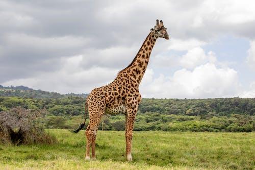 Brown and Black Giraffe on Green Grass Field Under White Clouds