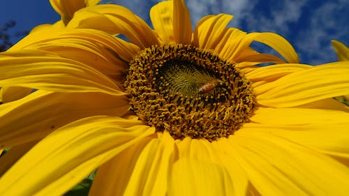 Free stock photo of bee and the sunflower