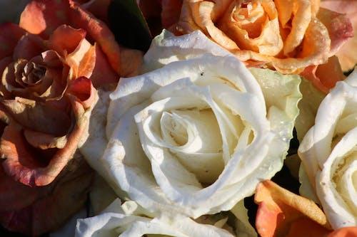 ホワイトローズの無料の写真素材