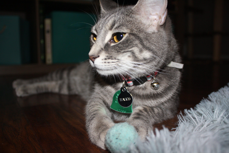 Free stock photo of cat, gray cat, Italics, serious