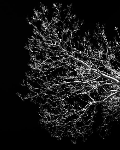 Free stock photo of black and white, branches, contrast