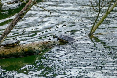 Immagine gratuita di acqua azzurra, naturale, tartaruga, tre
