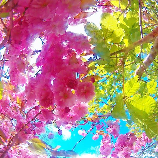 Foto Stok Gratis Tentang Bunga Bunga Sakura Mekar