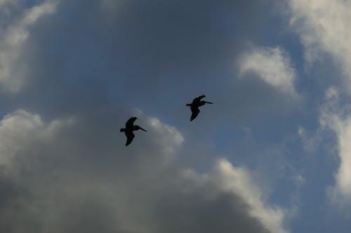 Free stock photo of pelicans