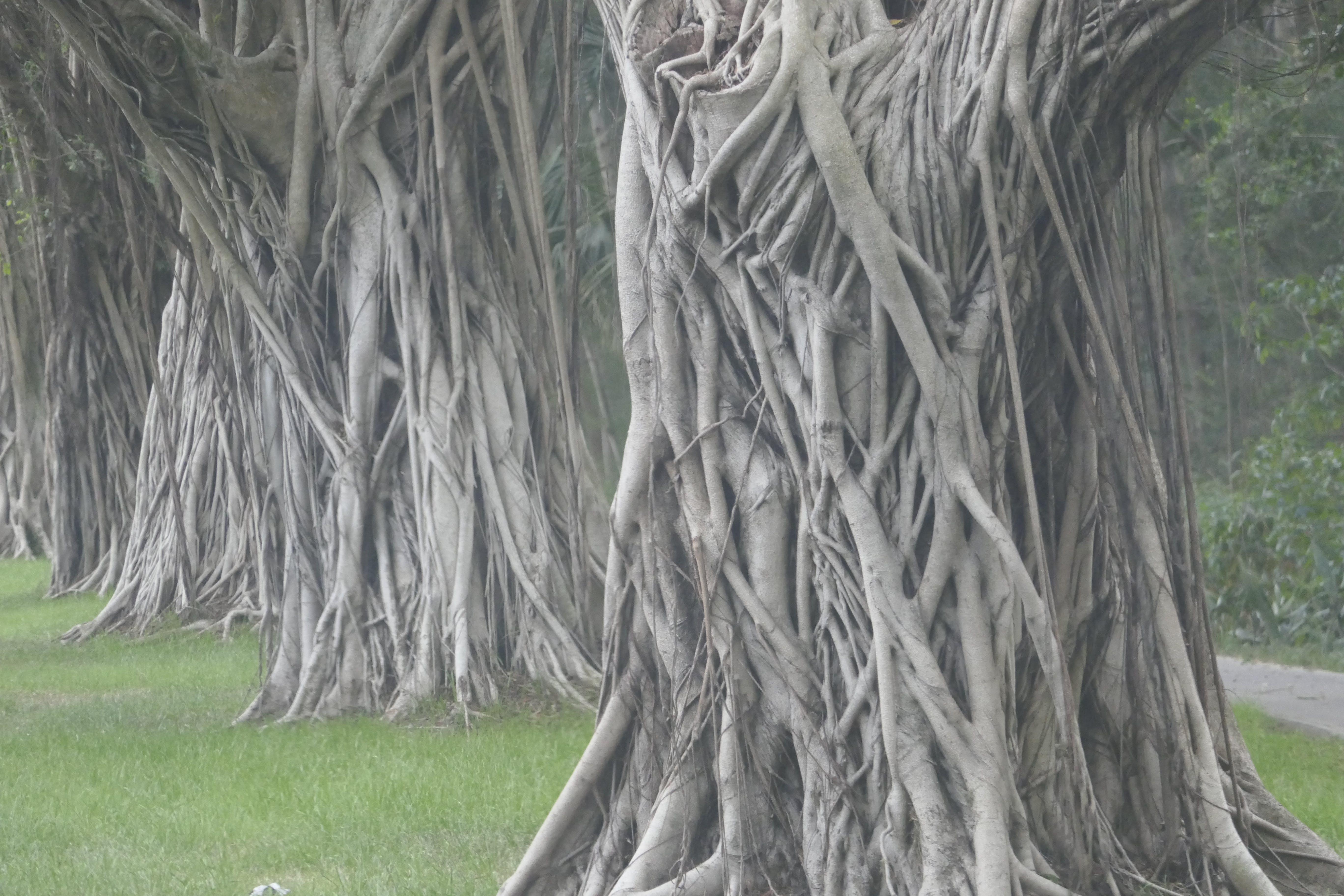 イチジクの木, バンヤン, フィカスの無料の写真素材