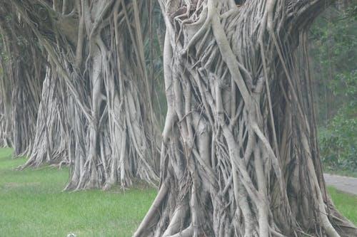 Free stock photo of banyan, ficus, ficus trees