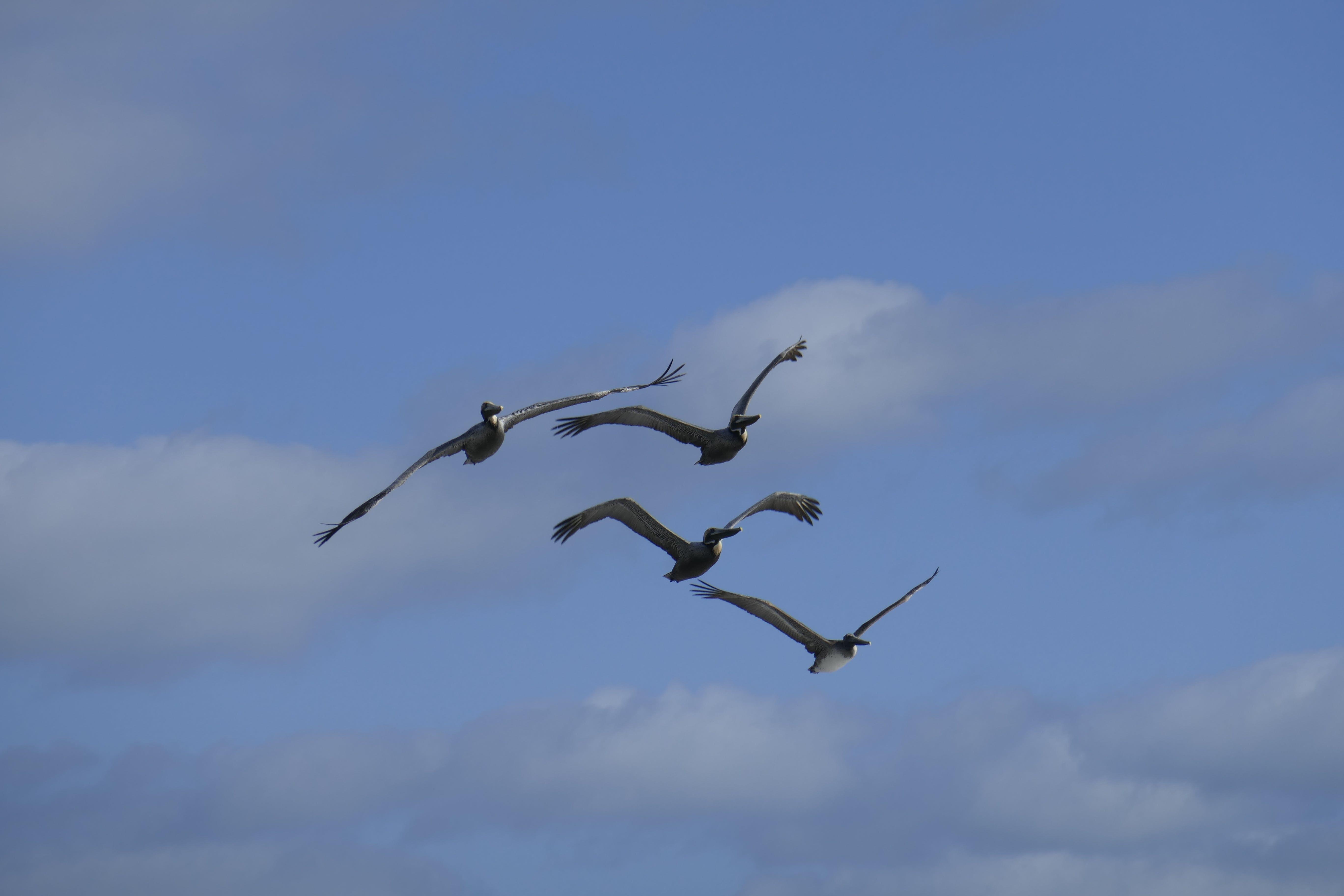 ペリカン, 飛行の無料の写真素材