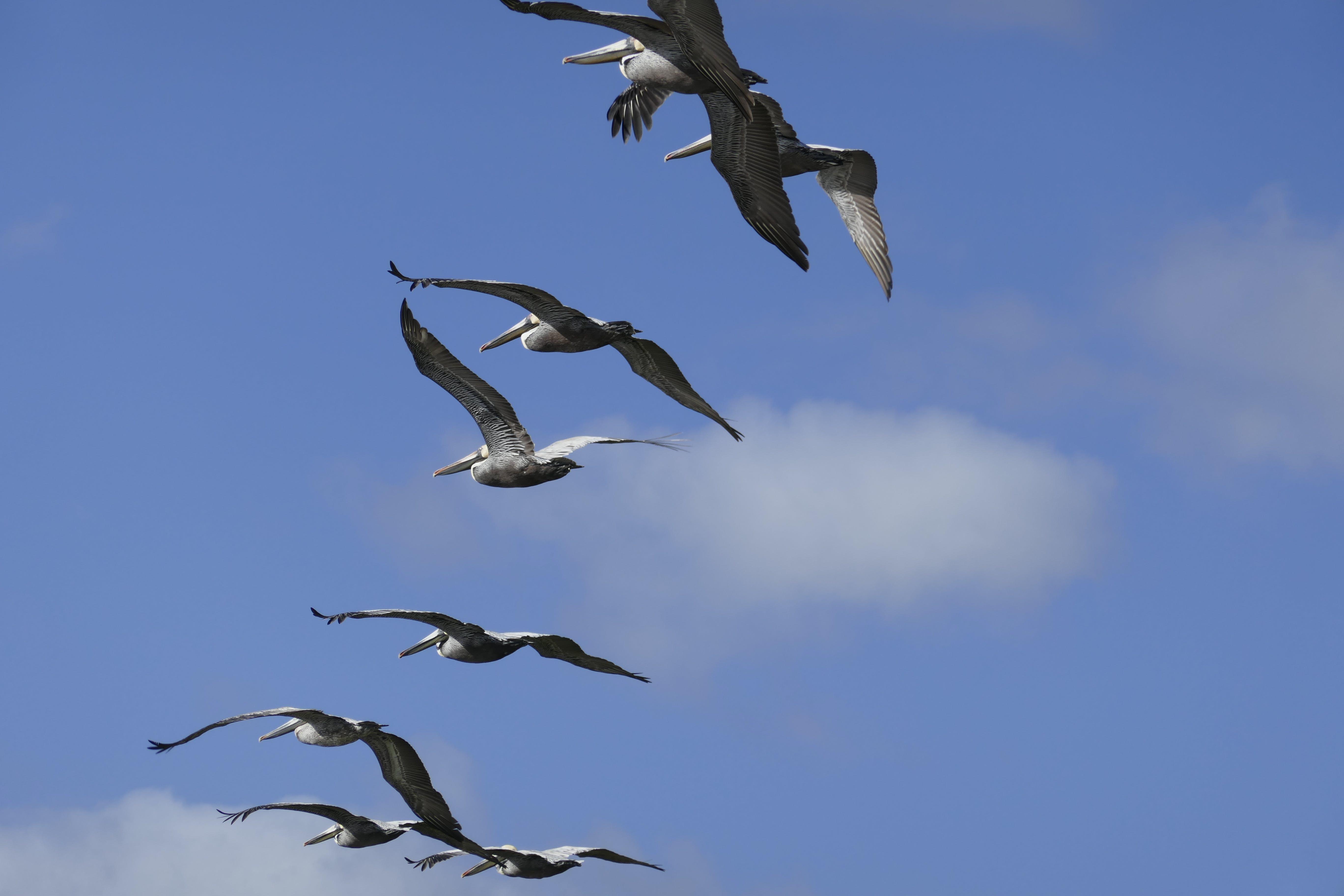 คลังภาพถ่ายฟรี ของ การบิน, นกกระทุง