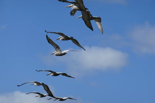 Free stock photo of flying, pelicans