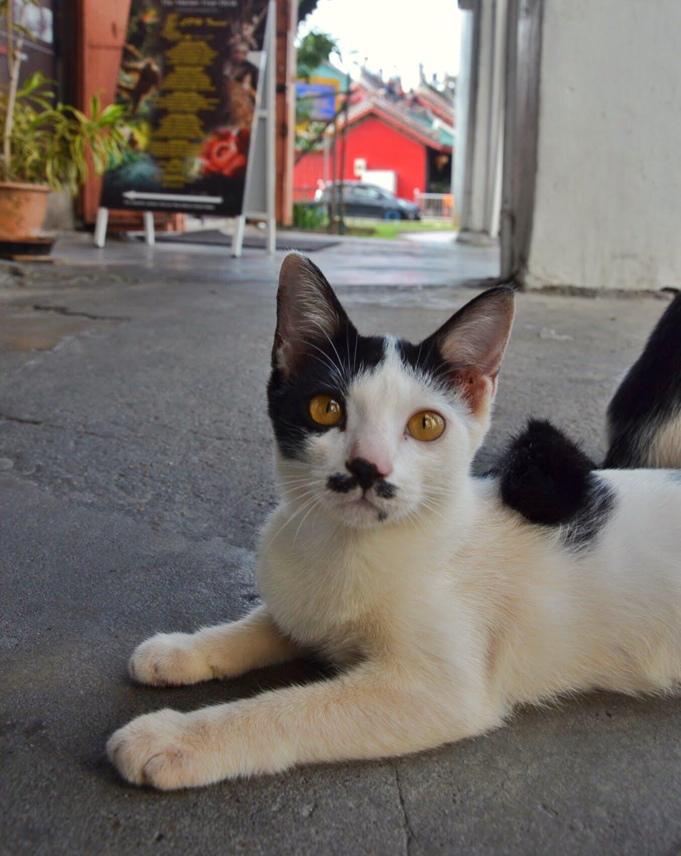 Free stock photo of #cat #meow #kitty #catchallenge #kuching, #malaysia #sarawak