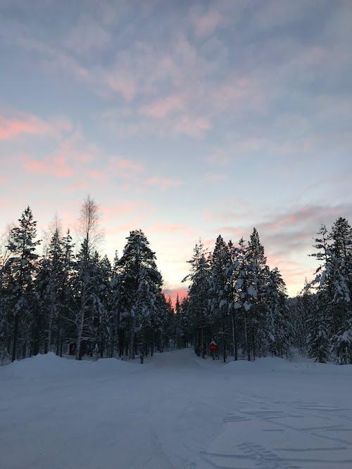 Gratis lagerfoto af fyrretræer, himmel