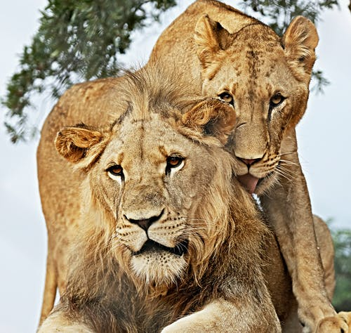 Fotos de stock gratuitas de león, leona