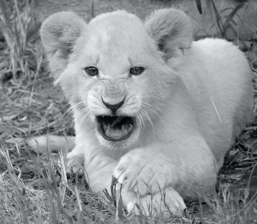 Fotos de stock gratuitas de cachorro de león blanco