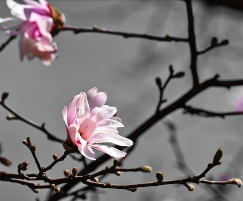 가지, 자연, 클로즈업, 핑크 나무 꽃의 무료 스톡 사진