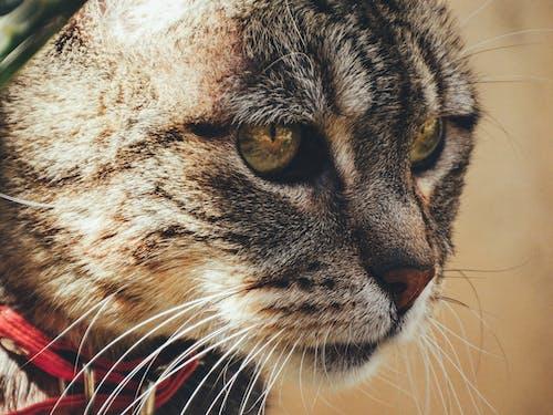 Fotobanka sbezplatnými fotkami na tému Čile, domáce zviera, gato
