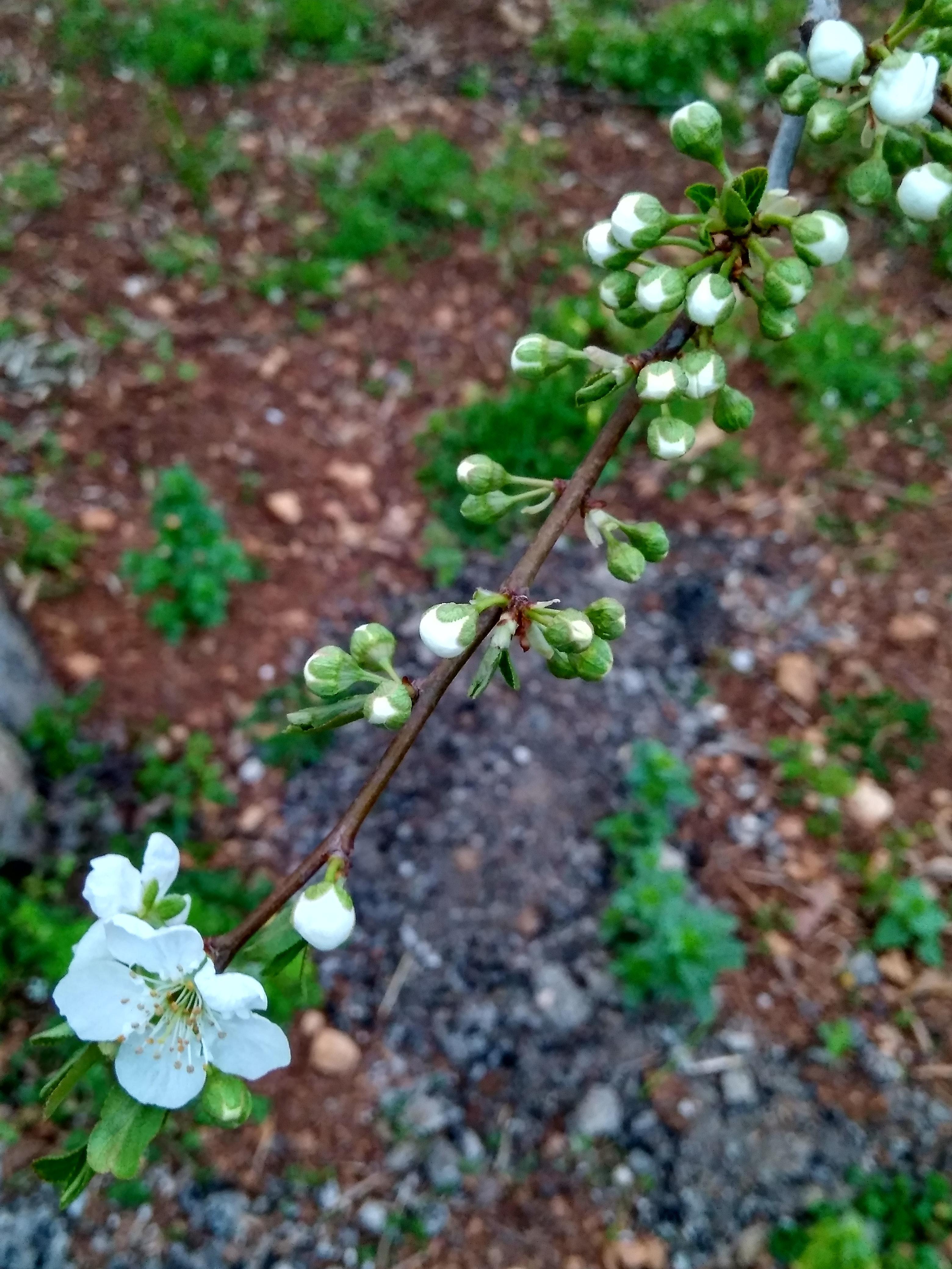Free Stock Photo Of Cherry Blossom Good Morning Spring Flower