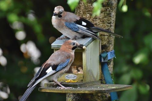 Free stock photo of bird watching, blue jay, songbird