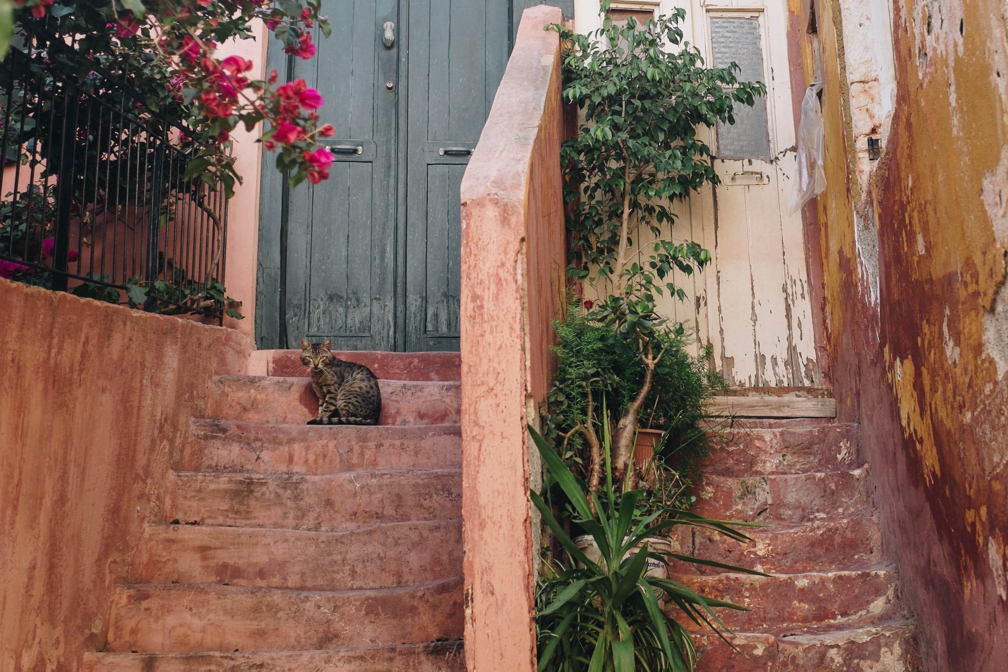Brown Tabby Cat on Brown Stairway With Pink Bougainvillea