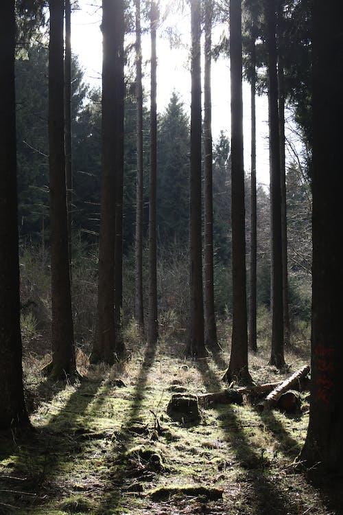 คลังภาพถ่ายฟรี ของ ดวงอาทิตย์, ต้นไม้, ป่า, สีเขียว