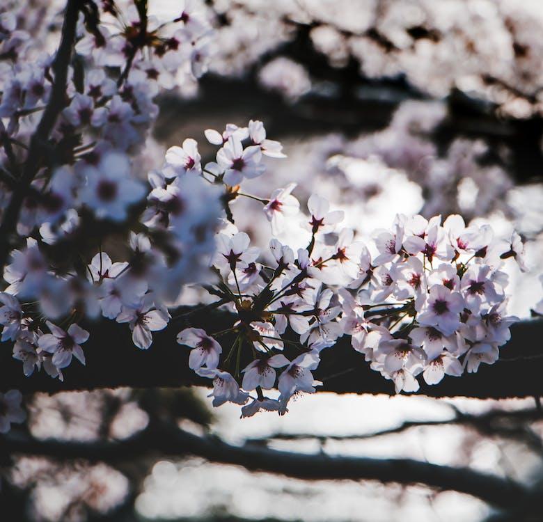 bloeiend, bloem, bloemblaadje
