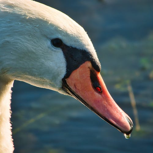 Free stock photo of close-up, white swan