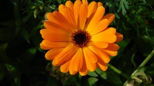 Free stock photo of marigold flower