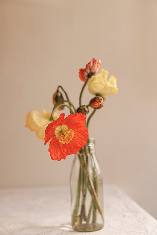 Bunch of Dry Poppies in Vase