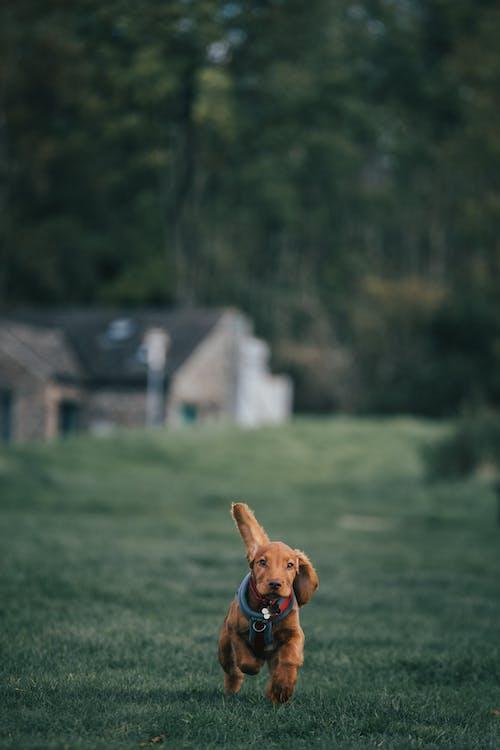 Cocker Spaniel Puppy Running